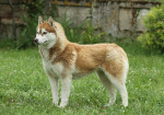 Un Husky Sibérien debout dans un jardin