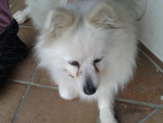 tilly - Italian Spitz (7 years)