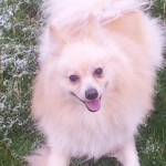 fastoche - Male Japanese Spitz (2 years)
