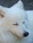Puschel - wie ein Polarfuchs - Male Japanese Spitz (1 year)