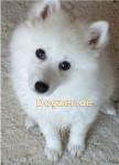 Puschel - wie ein Polarfuchs - Male Japanese Spitz (4 months)