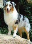 Lara - Australian Terrier (4 years)