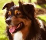 Lautaro - Male Australian Terrier (10 years)