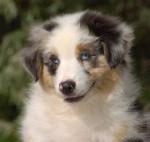 tizer - Male Australian Terrier (2 months)