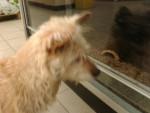 Cindy - Australian Terrier (11 years)