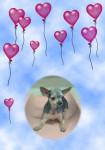 terrier australien Boule - Australian Terrier