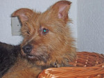 terrier australien gribouille - Australian Terrier