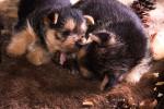 Australian Terrier picture