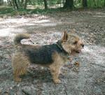 M. Willoughby du Pré de la Croix Verte - Male Norwich Terrier (2 years and a half)