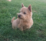 Stoppelhopser Xena - Male Norwich Terrier (2 years and 2 months)