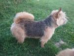 Naya Hilu du Pré de la Croix Verte - Male Norwich Terrier (2 years and 2 months)