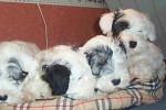 Sealyham Terrier - Sealyham Terrier