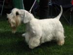 Sealyham Terrier picture