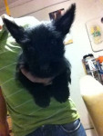 Tom - Male Scottish Terrier (4 months)