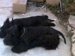 Papis de Tom - Scottish Terrier (3 years)
