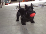 Jr - Male Scottish Terrier (5 years)
