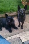 lola and sweep - Scottish Terrier (4 years)