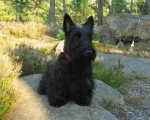 Guinness - Male Scottish Terrier (18 years)