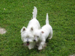 WEST HIGLAND WHITE TERRIER SCOTTIE ET CORK - Scottish Terrier