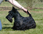 SCOTTISH TERRIER DD PASSE PARTOUT DE GLENDERRY - Male Scottish Terrier