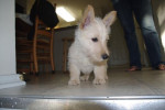 Scottish Terrier - Fidji - Scottish Terrier