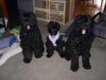 Morgan (AKC) - Black Russian Terrier (1 year)