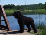 Lari - Male Black Russian Terrier
