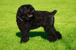Black Russian Terrier picture