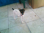 nuve - English Toy Terrier (9 months)
