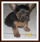 FLY - Male English Toy Terrier (1 year)