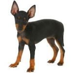 Princess - English Toy Terrier (10 months)