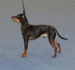 Koira - English Toy Terrier