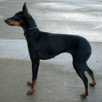 English Toy Terrier picture