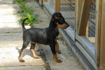 9 mois - English Toy Terrier