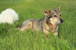 Sassy and Jack - Swedish vallhund (20 years)