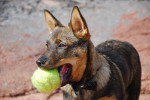 Pallo - Male Swedish vallhund
