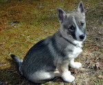 Swedish vallhund picture