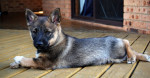 Axel - Male Swedish vallhund