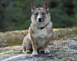 Swedish vallhund picture