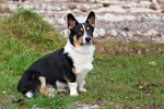 Cardigan Welsh corgi picture