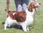 Springer Gallois - Welsh Springer Spaniel
