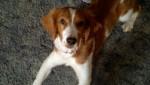 abby - Welsh Springer Spaniel (11 months)