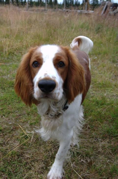 Welsh Springer Spaniel picture