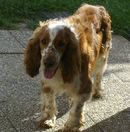Berty - Male Welsh Springer Spaniel (6 years)