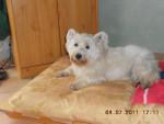 winnie - Male West Highland White terrier (10 years)