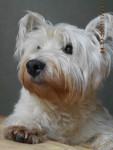 winnie ( super photo ) !!! - Male West Highland White terrier (10 years)