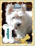 pretty girl - West Highland White terrier (7 months)