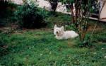 Maïk - Male West Highland White terrier (7 years)