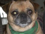 Maggie - Male Puggle (15 years)