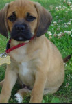 Pugly - Male Puggle (8 months)